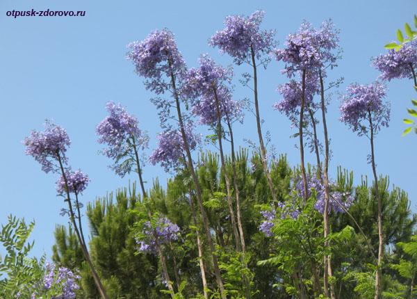 Фиолетовые цветы на деревьях (джакаранда)