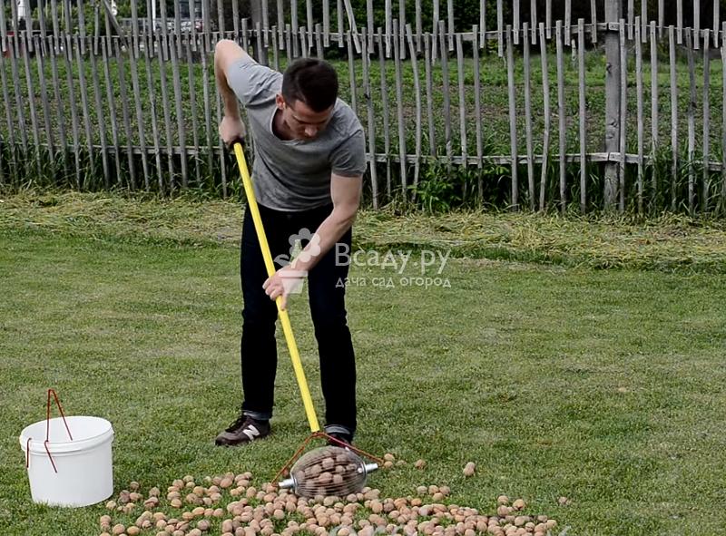 Современные садоводы собирают грецкие орехи специальными роллами